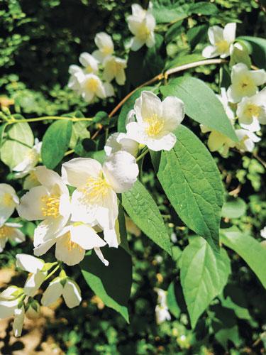 photo fleur arbuste